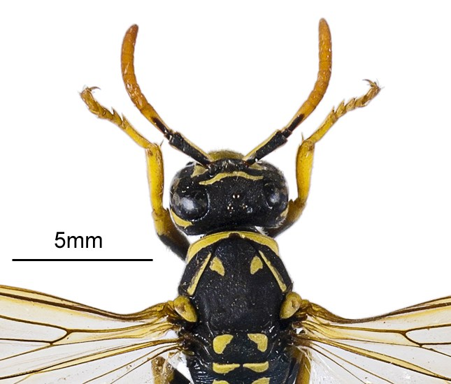 Polistes dominula (European paper wasp); adult female, close view of head and antennae. Museum set specimen. Maourine pond, Toulouse, France. July 2011.