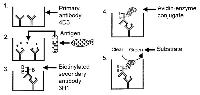 Schematic diagram of the theory and practice of the monoclonal antibody-based ELISA described in Rockey et al. (1991a). An individual well of an ELISA plate is depicted after each step in the assay. (1) The wells are coated with a primary monoclonal antibody (MAb 4D3) and the unbound sites on the plate are then blocked with a non-specific protein, bovine serum albumin (not shown). (2) Serial dilutions of a standard p57 preparation or dilutions of clinical samples are added. The primary antibody 4D3 binds to an amino-proximal epitope on p57, specifically retaining p57 but not other proteins in the sample. (3) A secondary biotinylated MAb (3H1) is used to recognize a specific epitope in the middle of p57. B, biotin. (4) MAb 3H1 is biotinylated, which is bound subsequently by an avidin-enzyme conjugate. (5) A chromogenic substrate is added and the colorimetric reaction is measured on an ELISA reader.