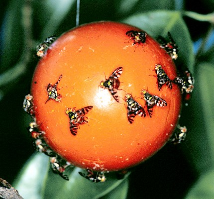 Females attracted by a bright orange sphere acting as visual trap.