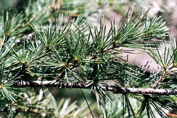 Branch of Cedrus deodara with needles.