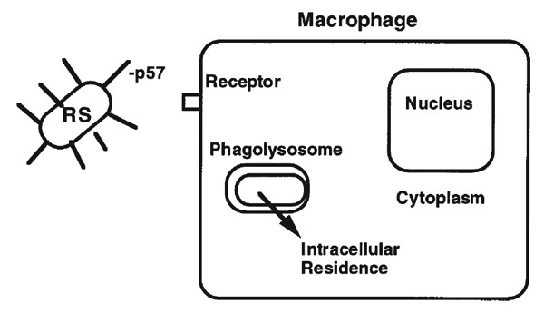 Model of one possible mechanism of action of p57. When associated with the bacterial cell surface, p57 may enhance binding, either specifically or non-specifically, to phagocytic cells, which would facilitate uptake or invasion by R. salmoninarum. Evidence suggests that R. salmoninarum is able to escape from the phagolysosome, which would allow access to intracellular nutrients and escape from damage by lysosomal enzymes and oxidative species.