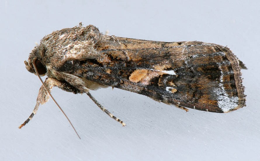 Spodoptera frugiperda (fall armyworm); adult at rest, lateral view. Laboratory image. USA.