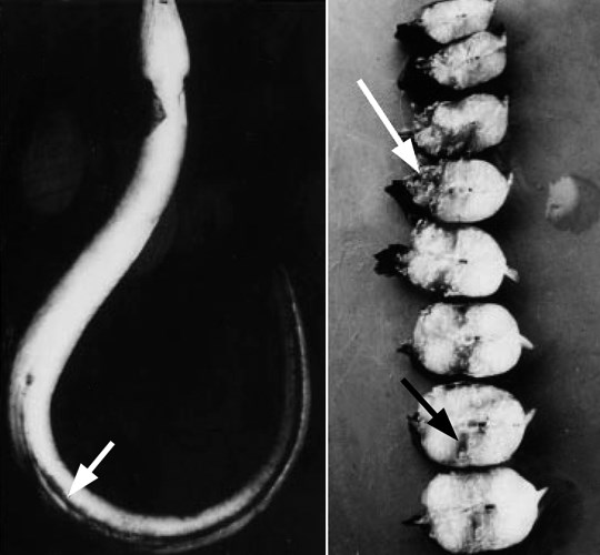 (A) Edwardsiella tarda infection in Japanese eel with haemorrhagic and congested anal fin (arrow). (B) Cross-sections of body of Japanese eel with inflamed and necrotic muscle lesions (arrows).