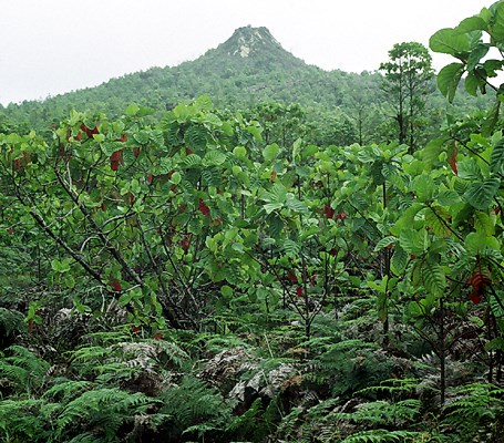 Dense forest of C. pubescens invading the volcanic slopes of Santa Cruz Island, Galapagos.