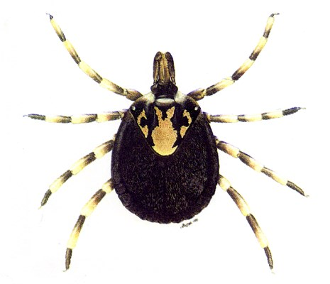 Amblyomma hebraeum: female.