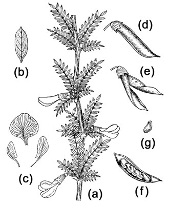 Caragana korshinskii: (a) flowering branch; (b) leaf form; (c) flower petals; (d, e & f) seed pods in various stages; (g) seed.