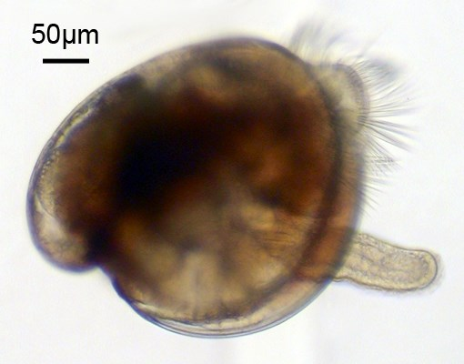 Crassostrea gigas (Pacific oyster); pediveliger larva. Note scale bar.
