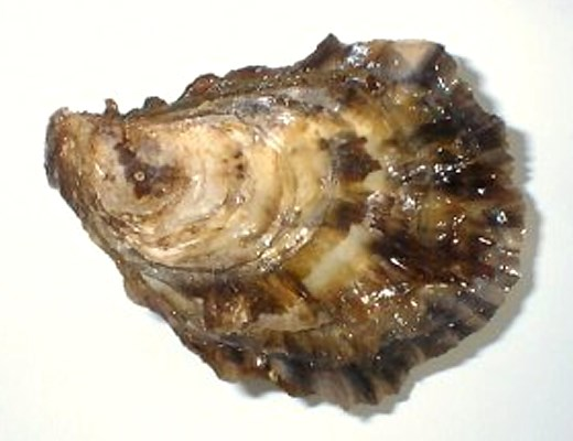 Crassostrea gigas (Pacific oyster); normal oyster shell.