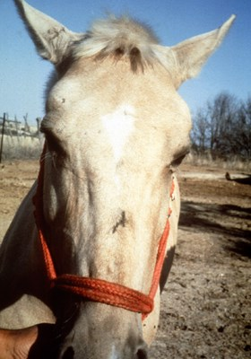 A horse infected with African horse sickness virus (subacute, cardica form): oedema of the supraorbital fossa.