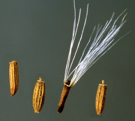 Seeds (achenes) of D. odorata;  one (with the white pappus hairs) is not viable, while the other three, which have already shed the pappus, are viable. Collected near San Francisco, California.