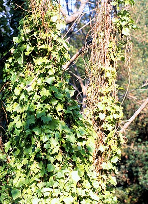 D. odorata vines in Kwazulu-Natal Province, South Africa. The young vines use the 'skeletons' of earlier vines as trellises. The accumulated dead vines form a thick, persistent thatch that shades out other plants.