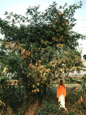 Clump of small form in Terai, Nepal.