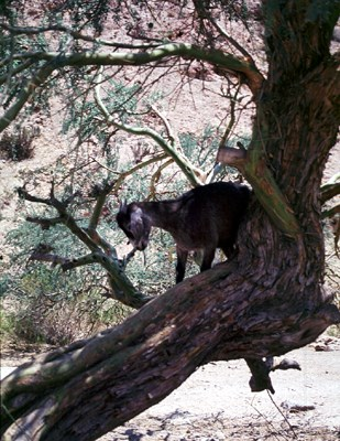 Goats climb into the branches to eat the fruits.