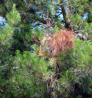 A naked branch tip and dead needles resulting from a girdling lesion on Pinus radiata.