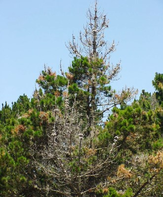 Pinus radiata with a complete loss of canopy due to multiple infections of branches and on the main stem.