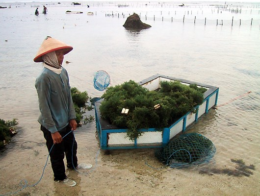 Harvesting of Kappaphycus in Bali, Indonesia.