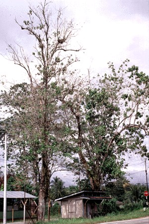 In Bidor, west coast Peninsular Malaysia, loss of foliage begins in December and is completed in March.