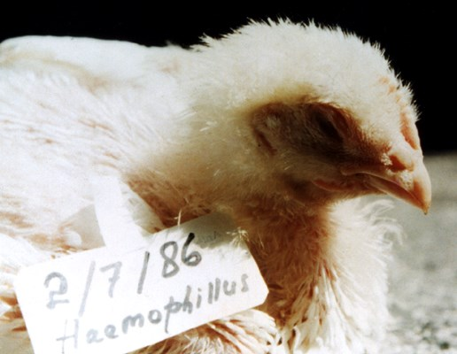 Broiler innoculated with serotype A of H. paragallinarum Indonesian field strain.