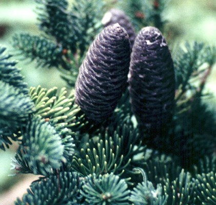 Branchlet with mature closed cones.