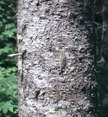 Bark is smooth, greyish, dotted with raised resin blisters when young, becoming broken into irregular brownish scales. The resin blisters can be seen in this photograph.
