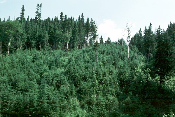 High forest stand (60 years old) with natural regeneration. Matane, Canada.