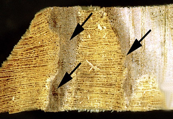 Transverse sample of London plane wood naturally infected by I. hispidus. Even at an advanced stage of decay the strongly lignified xylem ray resists degradation. The spread of decay is demarcated by a reaction zone (arrowed) with gum-like occlusions.