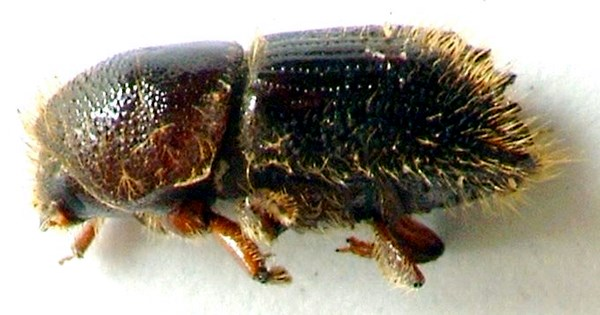 Lateral view of adult beetle.