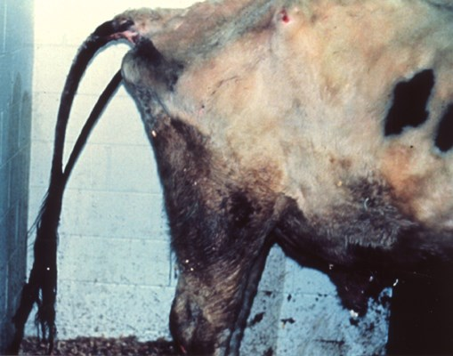 Cow with clinical Johne's disease, exhibiting severe watery diarrhoea.