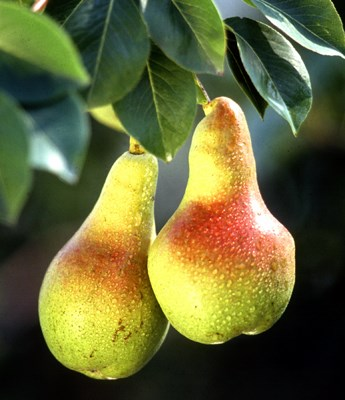 Ripe pear fruits on tree.
