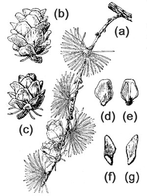 Larix gmelinii: (a) cone shoot; (b & c) cone; (d & e) upper and lower scale surfaces (f & g) seed surfaces.