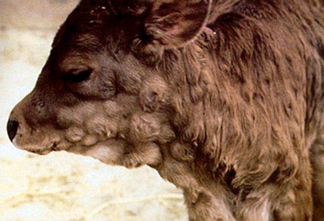 A Balidy calf in Egypt affected with LSD; note the large skin nodules.