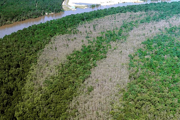 Aerial view of defoliation of water tupelo trees (Nyssa aquatica) by larvae of M. disstria (forest tent caterpillar). Notice the green strips, which are areas of mixed hardwood forest, a less favoured host of this insect.