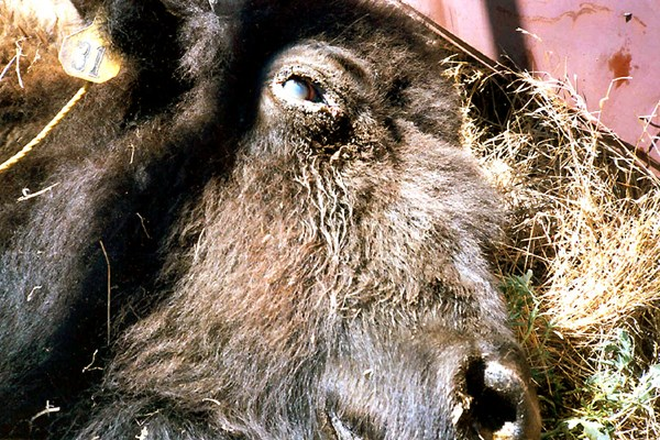 Bison with acute MCF showing corneal oedema, matting of the facial hair and crusting of dried ocular secretions around the eyes.