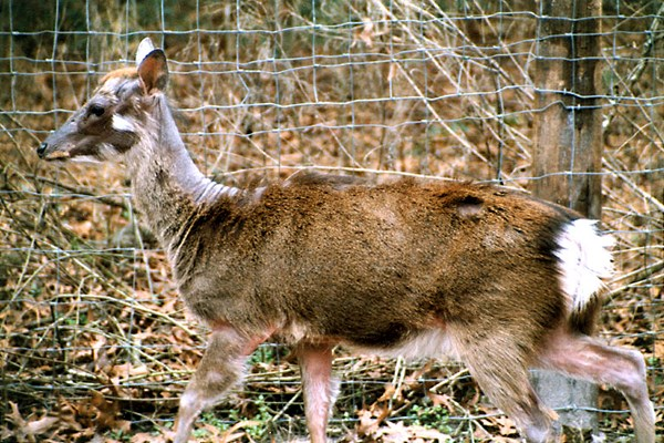 Affected skin often becomes thickened and corrugated in appearance. Axis deer with chronic disease caused by the caprine MCF-group virus, CpHV-2. Skin inflamation and alopecia are most apparent in the face, dorsal aspects of the neck and trunk and the medial sides of the limbs. Hair loss may be generalized or patchy.