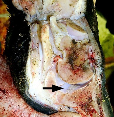 Cow with acute MCF of approximately 5 days duration. Sagittal section of foot. Opened joint reveals fibrin deposits in the synovial cavity (arrowed).