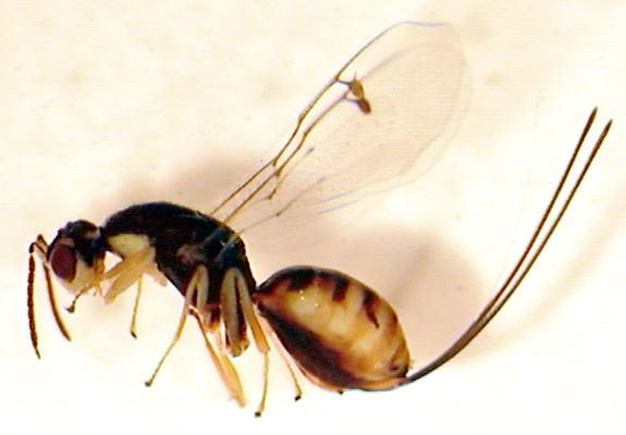 Adult female of M. specularis, lateral view.