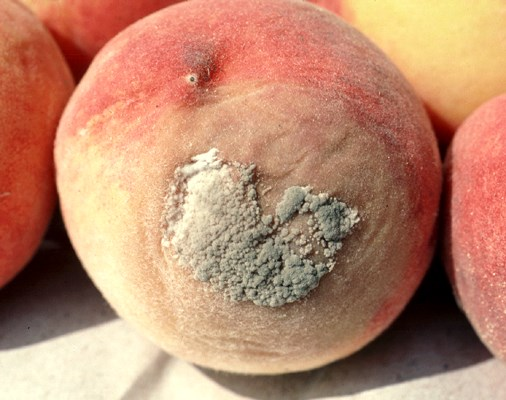 Brown rot and sporulation on peach caused by M. laxa.