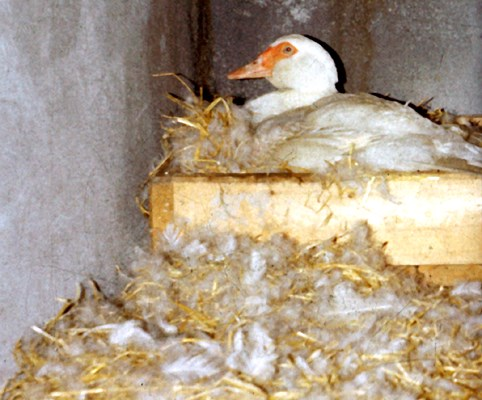 Muscovy ducks are extremely good brooders. They are ideally suited to natural reproduction in small farms.