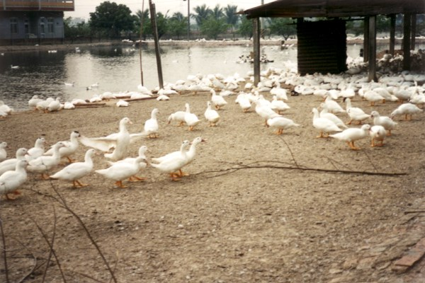White mule ducks in Taiwan. Integrated duck and fish production.