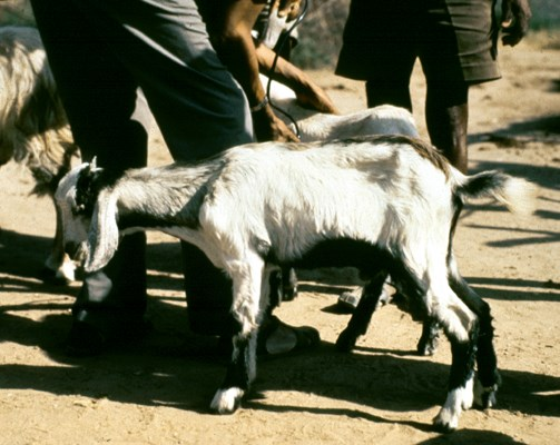 Goat showing respiratory distress as a result of infection with MmmLC.