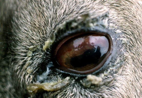 Eye of an Alpine ibex (Capra I. Ibex) affected with infectious keratoconjunctivitis showing conjunctival hyperaemia, perilimbic neovascularization and mucous secretions.