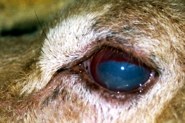 Eye of sheep infected with infectious keratoconjunctivitis showing redness of the conjunctival mucosa, neovascularization and pannus.