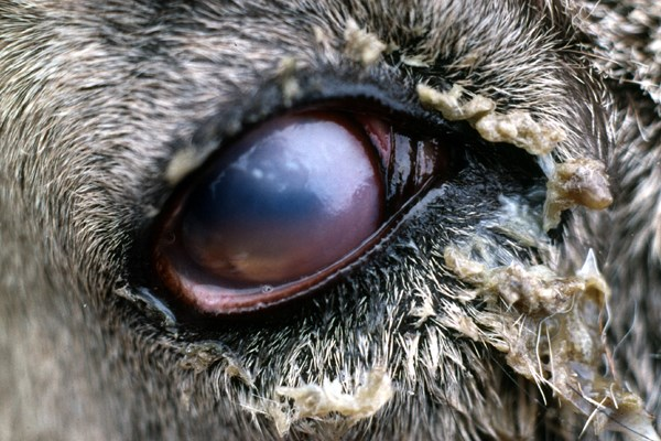 Eye of an Alpine ibex (Capra i. Ibex) affected with infectious keratoconjunctivitis showing corneal oedema.