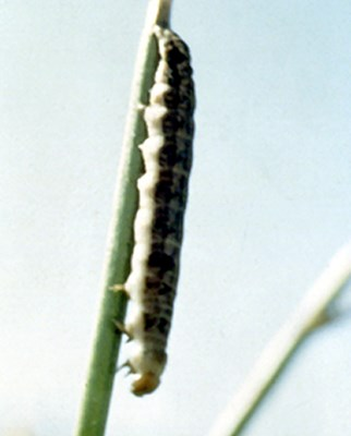 NPV-infected larva of Spodoptera exempta (African armyworm).  The hanging attitude with the head down is typical of late instars killed by NPV.