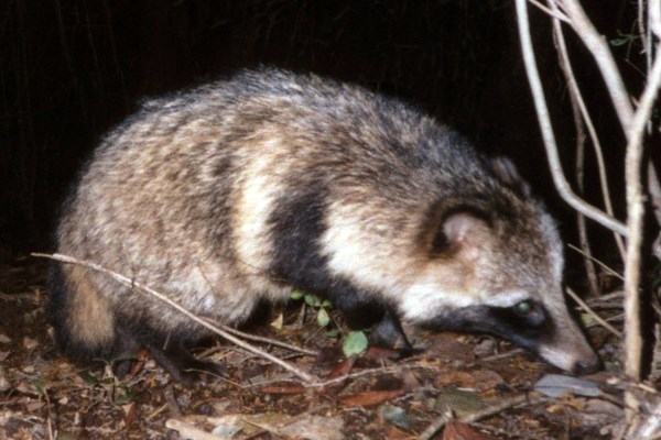 Adult Raccoon dog; pictured via camera-trap in November 2004 in a secondary forest in Ibaraki Prefecture, Japan.