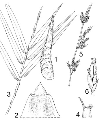 1. young shoot 2. culm leaf (abaxial side) 3. leafy branch 4. leaf sheath with auricles and pseudopetiole 5. flowering branch 6. pseudospikelet