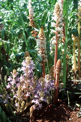 Blue-flowered Orobanche aegyptiaca infesting faba bean (with O.crenata in the background).