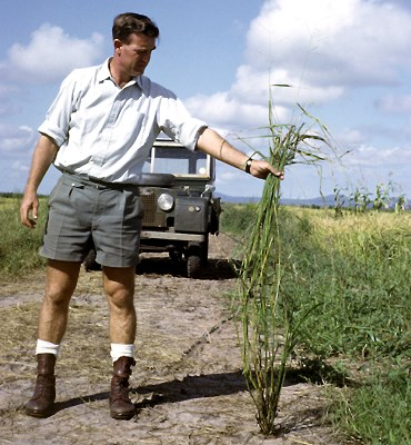 Oryza punctata (wild or red rice); Keith Armstrong holding wild rice (O. punctata), Swaziland.