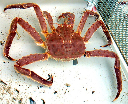 General view of the carapace and other regions of the red king crab, Paralithodes camtschaticus.