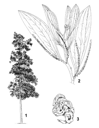 1. habit of young tree 2. flowering twig 3. pods
